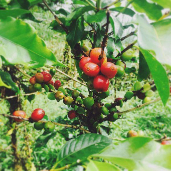 Een koffieboon begint als bes aan de koffieplant
